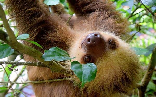 Sloth - Costa Rica