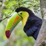 Toucan-costa-rica